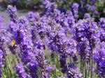 Smell Lavender